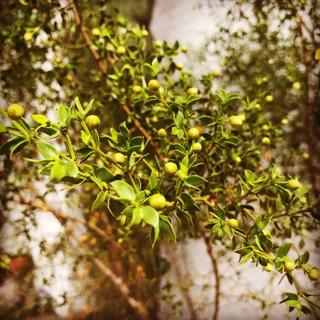 Creosote bush, Larrea, growing in Tucson. First plant I ever harvested (Friede here)