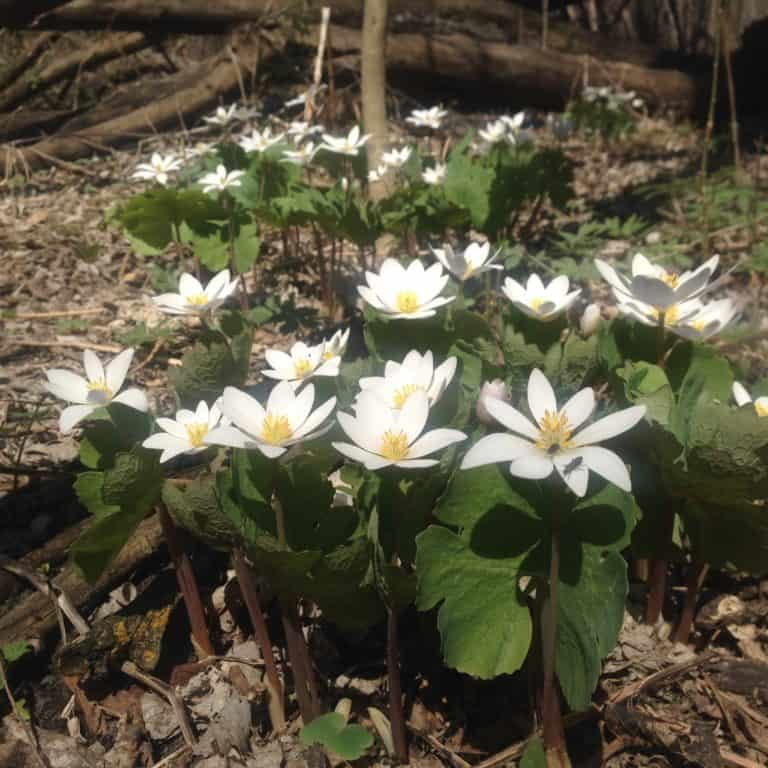 Blood root blooming in the early spring at the dog park.